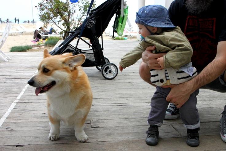 ..e abbiamo conosciuto Renato il cane della nostra razza preferita: Corgy Welsh